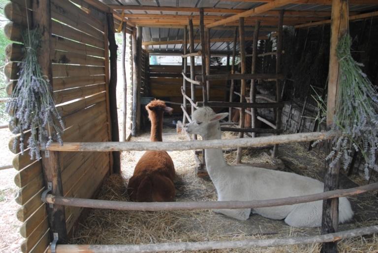 alpaca spiazzi
