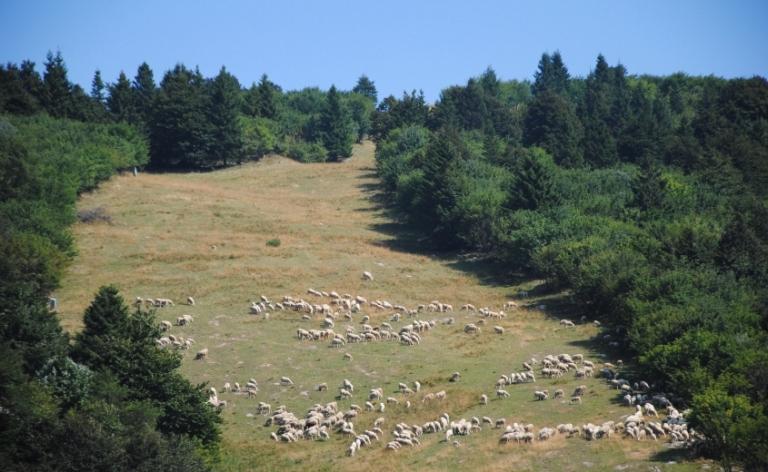 la discesa della vecchia pista da sci Paloni con le pecore al pascolo